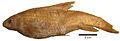 Carasobarbus kosswigi holotype - ZooKeys-339-001-g021.jpg