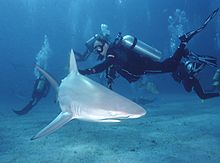 Blacktip Shark 1 by Inked Animal