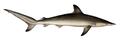 Spot-tail shark (Carcharhinus sorrah)