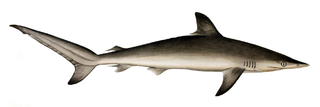 Spot-tail shark Carcharhinus sorrah