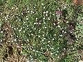 Cardamine hirsuta (Habitus).jpg