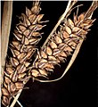 Carex cespitosa inflorescens (10).jpg
