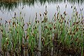 Carex limosa plant (01).jpg