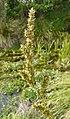 Carex paniculata inflorescens (39).jpg
