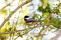 Carolina chickadee (26581391631).jpg