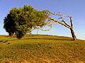 Castelldefels windswept tree.jpg