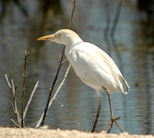 Amistad National Recreation Area - Image: Cattle Egret (Bubulcus ibis) near water