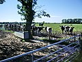Cattle paddling in the mud - geograph.org.uk - 496772.jpg