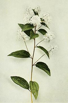 Ceanothus americanus WFNY-126.jpg