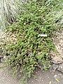 Ceanothus hearstiorum - University of California Botanical Garden - DSC09015.JPG