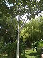 Cecropia angustifolia(Trécul).jpg