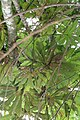 Cecropia obtusifolia 40zz.jpg