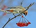 Cedar Wax Wing - Flickr - chefranden.jpg