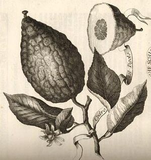 "Greek citron - ""Cedro col Pigolo"" - the citron with persisting carpel, was illustrated and described by Johann Christoph Volkamer in 1708, as the Jewish citron"
