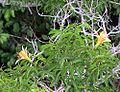 Ceiba pentandra (16974966949).jpg