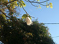 Ceiba pentandra fruit in hg.jpg