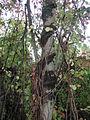 Celastrus orbiculatus 5501214.jpg