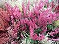 Celosia wool flower from Lalbagh flower show Aug 2013 8459.JPG