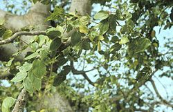 meaning of celtis
