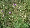 Centaurea scabiosa-1.jpg