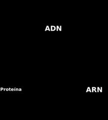 Dogma central de la biologa molecular  Wikipedia la