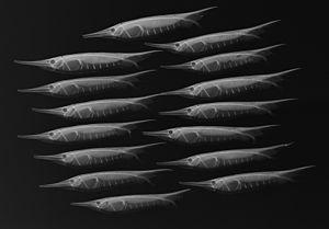 Centriscus scutatus - Centriscus scutatus, conventional and X-ray images