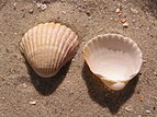 Cerastoderma glaucum shell.jpg