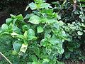Ceylon Lime 01.JPG