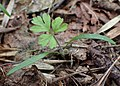 Chaerophyllum temulum kz03.jpg