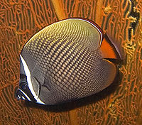 Chaetodon collare 1
