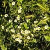 Chamaemelum nobile - χαμομήλι το ευγενές.jpg