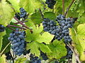 Chaumette Winery Norton grapes.jpg