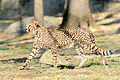 Cheetah Running Across (22008008005).jpg