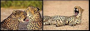 الفهد 300px-Cheetahs_sir_b