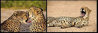 Northeast African cheetah - Cheetahs in Sir Bani Yas, United Arab Emirates