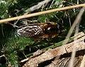 Cheilosia grossa (female) - Great Spring-cheilosia - Flickr - S. Rae.jpg