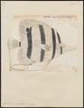 Chelmo rostratus - 1700-1880 - Print - Iconographia Zoologica - Special Collections University of Amsterdam - UBA01 IZ13100187.tif