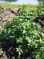 Chenopodium rubrum (s. str.) sl9.jpg