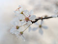 Cherry blossom (12876700983).jpg