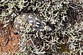 Chersina angulata (Testudinidae) (25690992227).jpg
