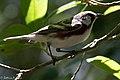 Chestnut-sided Warbler (male) Anahuac NWR - Woodlot TX 2018-04-25 12-31-16 (40261488830).jpg