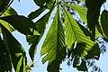 Chestnut Leaf.JPG