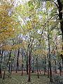 Chestnut Trees, Parque del Retiro (6382409377).jpg
