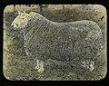 Cheviot Ram (22777924906).jpg