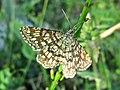 Chiasmia clathrata (Geometridae) (Latticed Heath) - (imago), Arnhem, the Netherlands.jpg