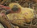 Chick of pigeon.jpg