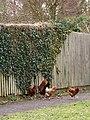Chicken, Woodyates - geograph.org.uk - 1181817.jpg