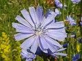Chicory (Cichorium intybus) (7684066208).jpg