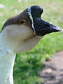 Chinese goose, head, male.jpg