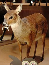 Chinese water deer Stuffed specimen.jpg